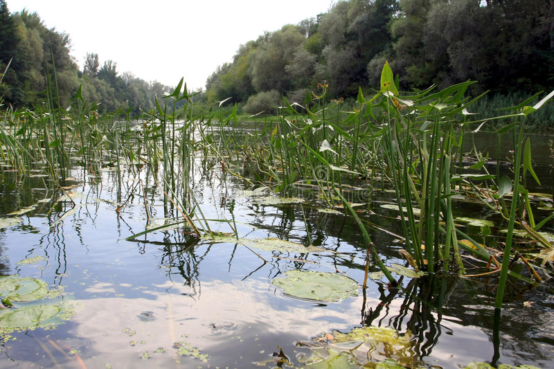 Download Water-plants On Slough Stock Image - Image: 6217381