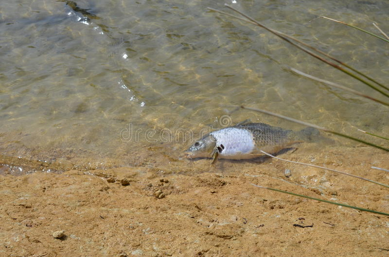 Water polution-Dead fish. Water polution,dead fish in a river in France royalty free stock image