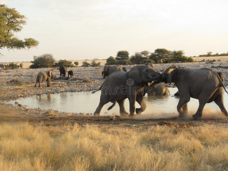 Elephants jousting in Etosha. Water is a precious and often scarce asset in the Etosha reserve. At the water hole featured here, animals included elephants the royalty free stock photo
