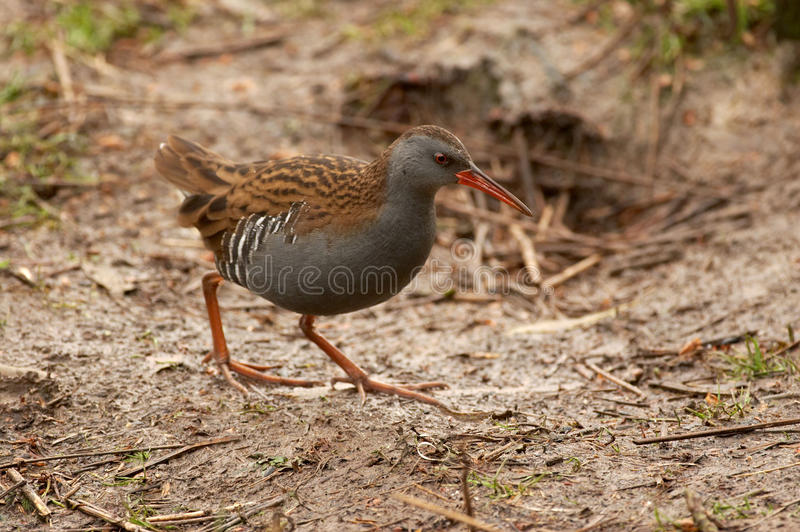 Water Rail - Rallus aquaticus. Water rail at the side of a lake royalty free stock image