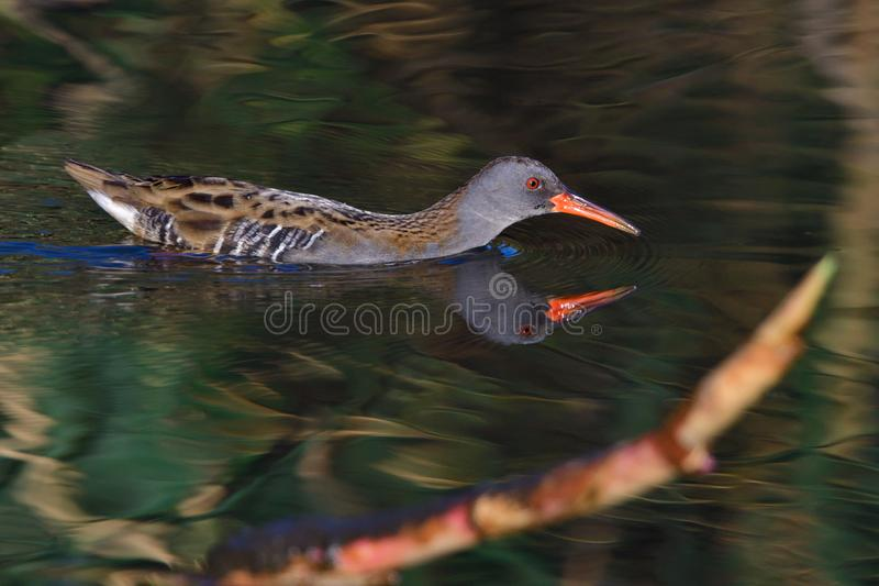 Water rail in saxon in autumn stock images