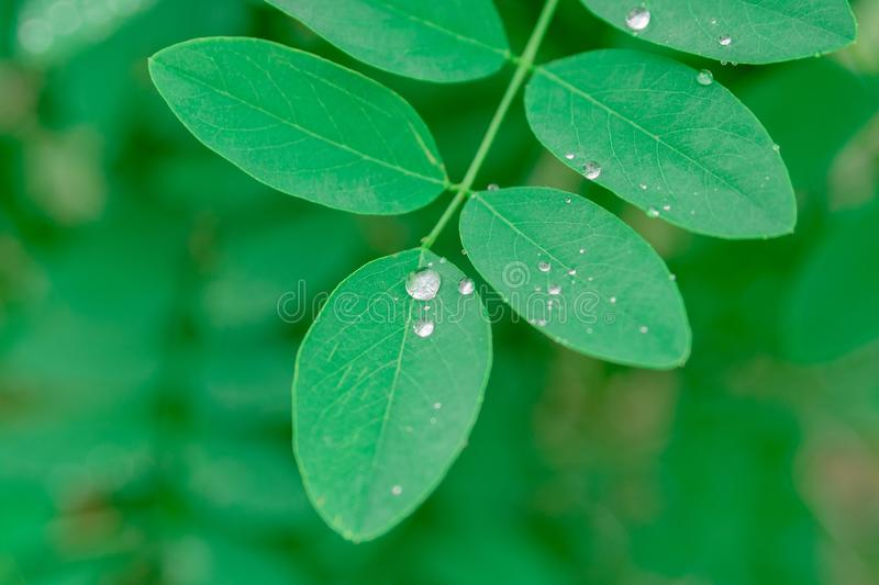 Water from rain drops beading generic simple green leaves. Small rain drops collected ion green laves of little plant after a rainy day. Rain is important source royalty free stock image