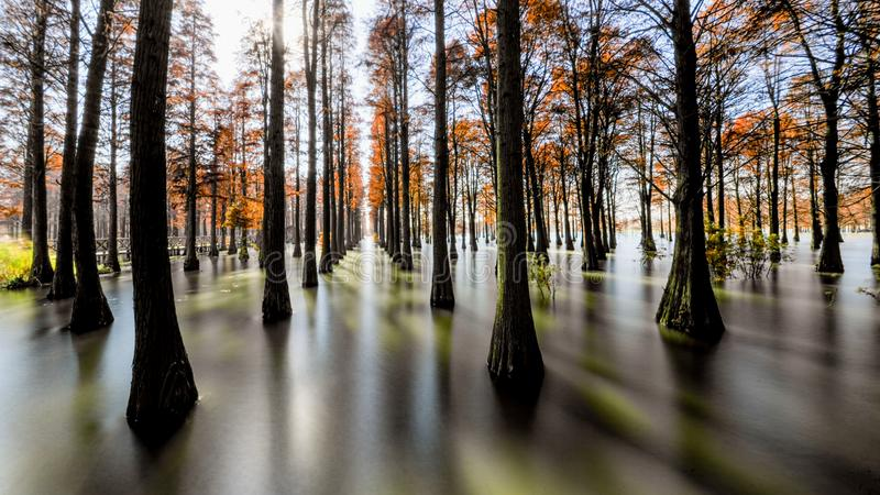 Water red forest. Is located in Qingxi Country Park, southwest of Shanghai, China. Autumn is the most beautiful season here. The leaves of Iyquois, Metasequoia
