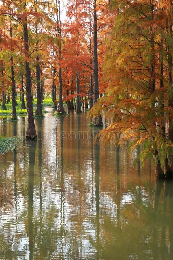 Water red forest. Metasequoia Inverted reflection in water, Dyed, country stock images