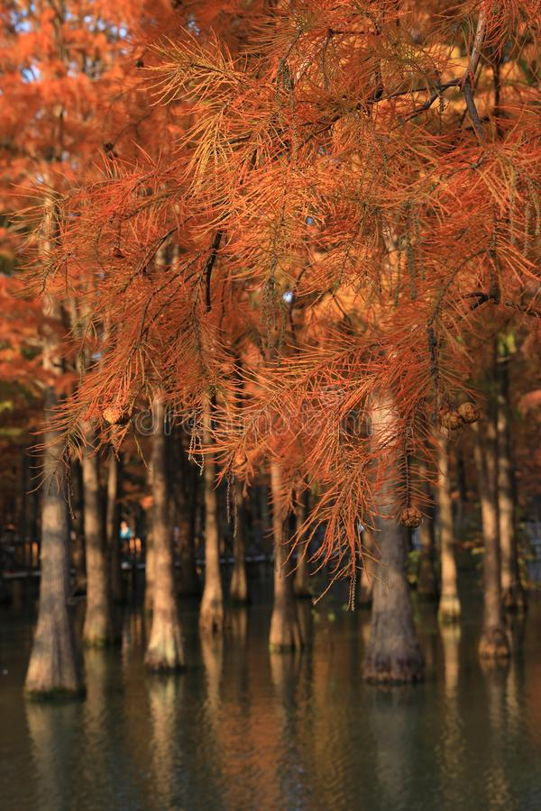 Water red forest.Metasequoia, Dyed, country stock photos