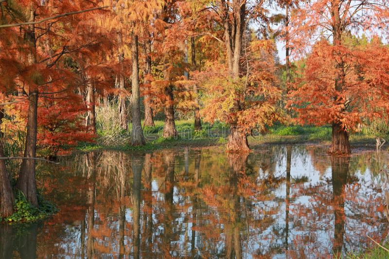 Water red forest. Metasequoia Inverted reflection in water, Dyed, country stock photo
