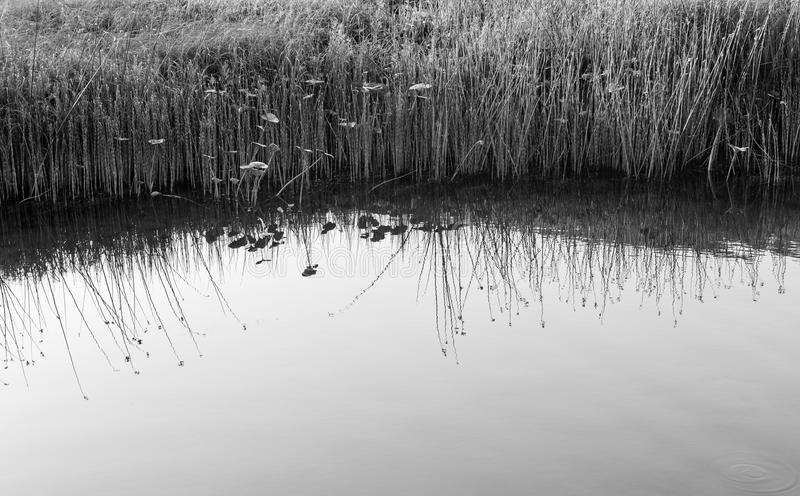 Water Reeds and Calm Water royalty free stock photography