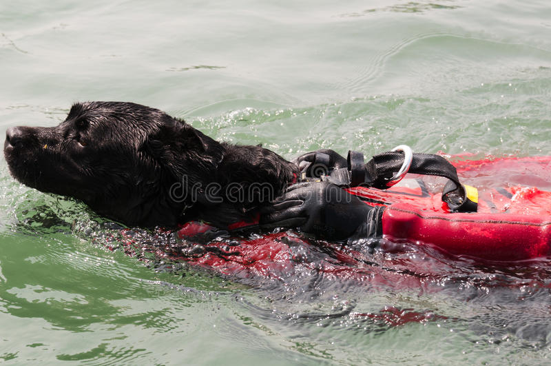 Water Rescue Dog Stock Photo