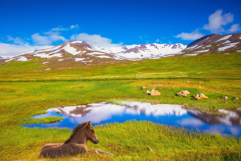 At the water resting beautiful Icelandic horse. Summer Iceland. Small lake among fields of green grass. At the water resting beautiful Icelandic horse royalty free stock photo