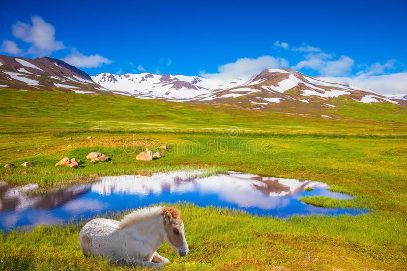 At the water resting White Icelandic horse. Summer Iceland. Small lake surrounded by green fields. At the water resting White Icelandic horse royalty free stock image