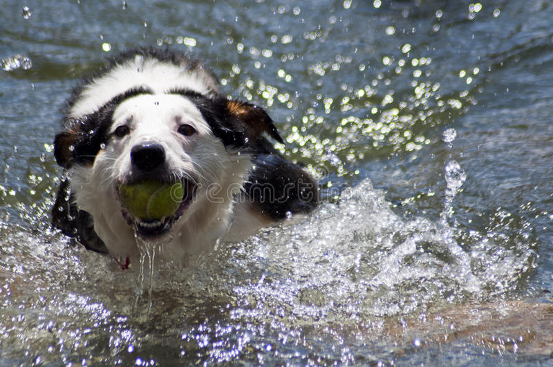 Water Retrieving Dog. Black and white dog retrieves a tennis ball from the water at a dog park. It is a beautiful warm and sunny summer's day royalty free stock photos
