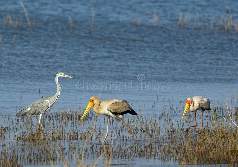 Water scene with african grey heron and yellow-billed storks wading. African Grey Heron and Two Yellow Billed Storks wading in shallow water on Lake Kariba stock images