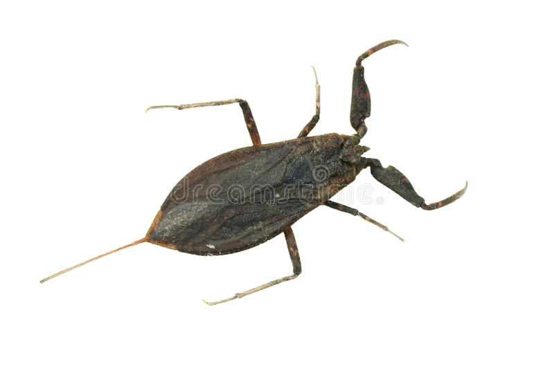 Water Scorpion royalty free stock photography