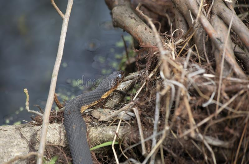 Water Snake Sunning on a Log stock image