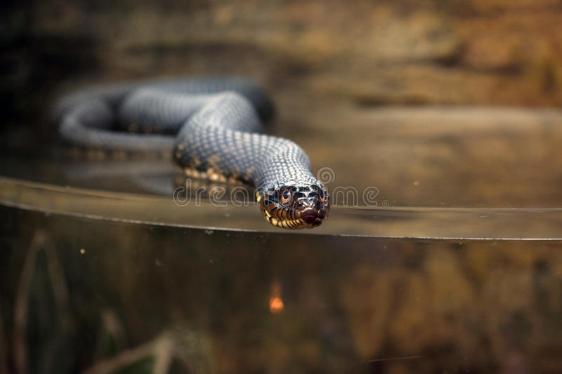 Water Snake in tank. At sea life centre in Hunstanton royalty free stock photos
