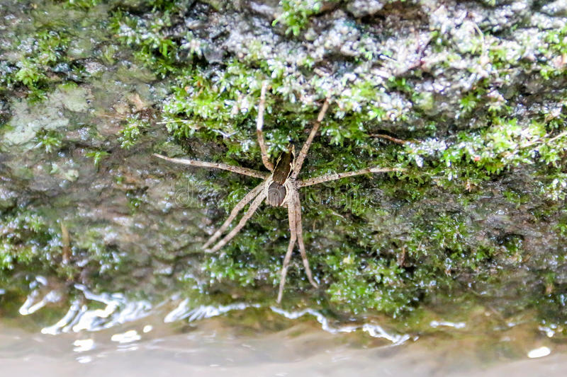 Water spider royalty free stock images