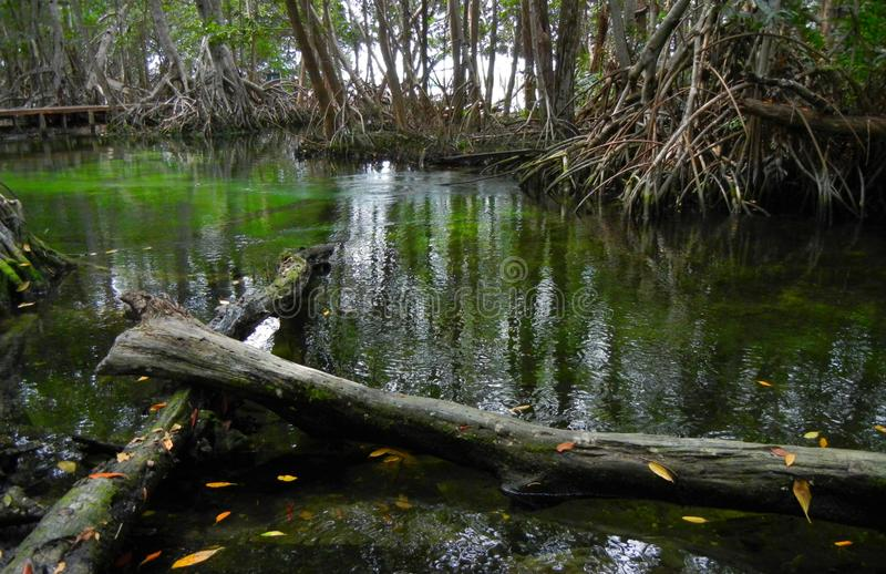 Water spring and Mangroove in Yucatan stock photography