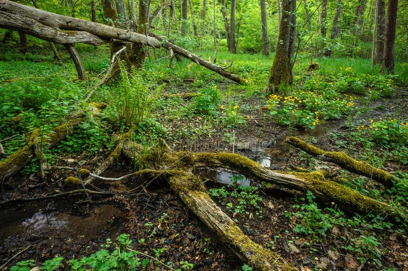 Water stream fallen tree forest scenery spring stock photos
