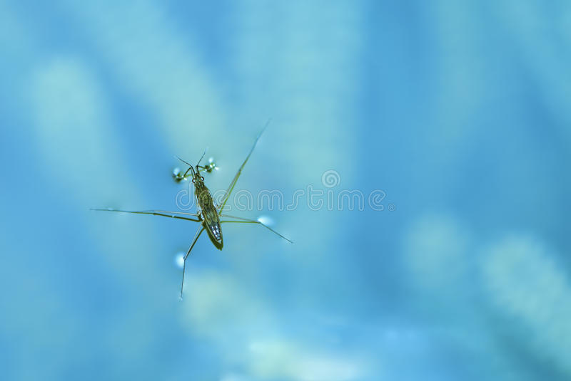 Water strider stock foto