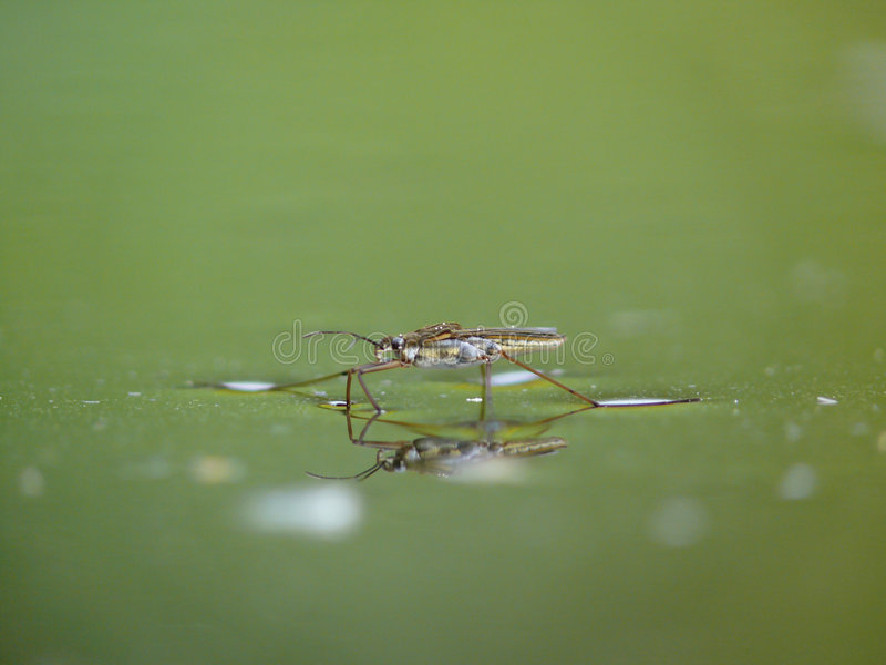 Water Striders On Water. Reflections In A Pond. Stock Photo