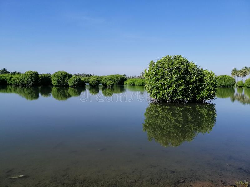 Water surface, plants water surface, plants mangrove forest, palm trees. Water surface, plants mangrove forest, palm trees silence calm sky royalty free stock photos