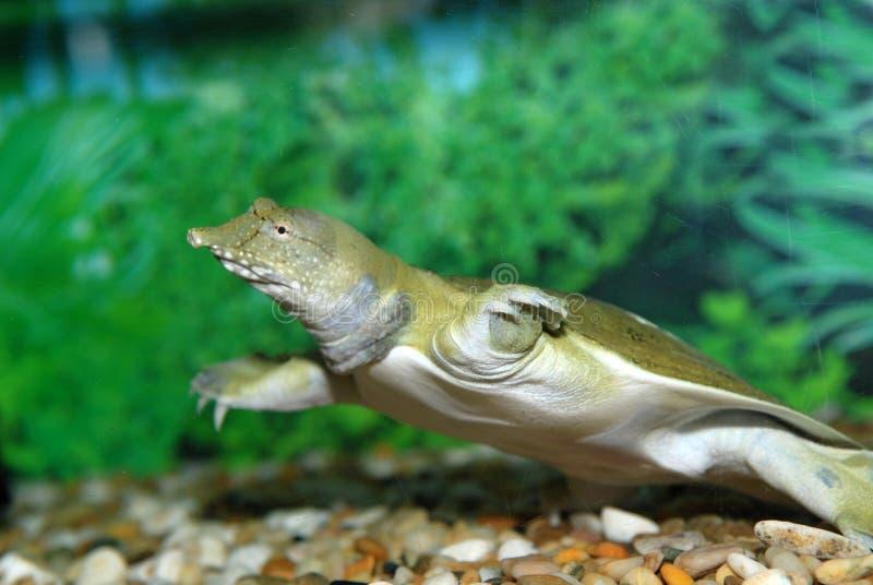 Water tortoise stock image