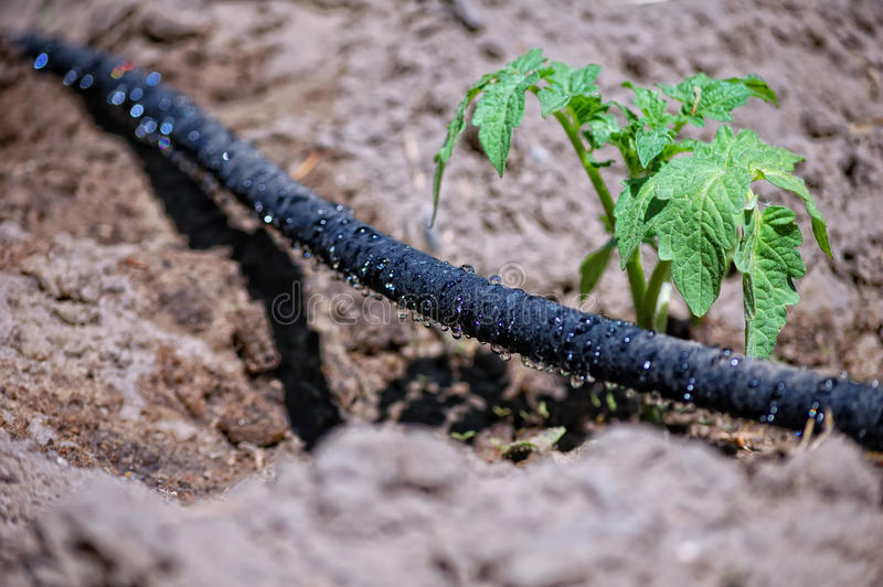 Water trickling hose. Black water trickling hose for drip irrigation royalty free stock images