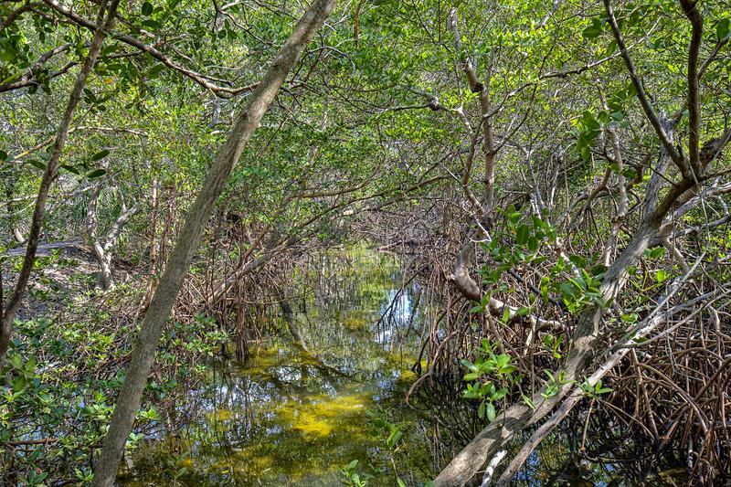 Water And Tunnel Through Mangroves royalty free stock photo