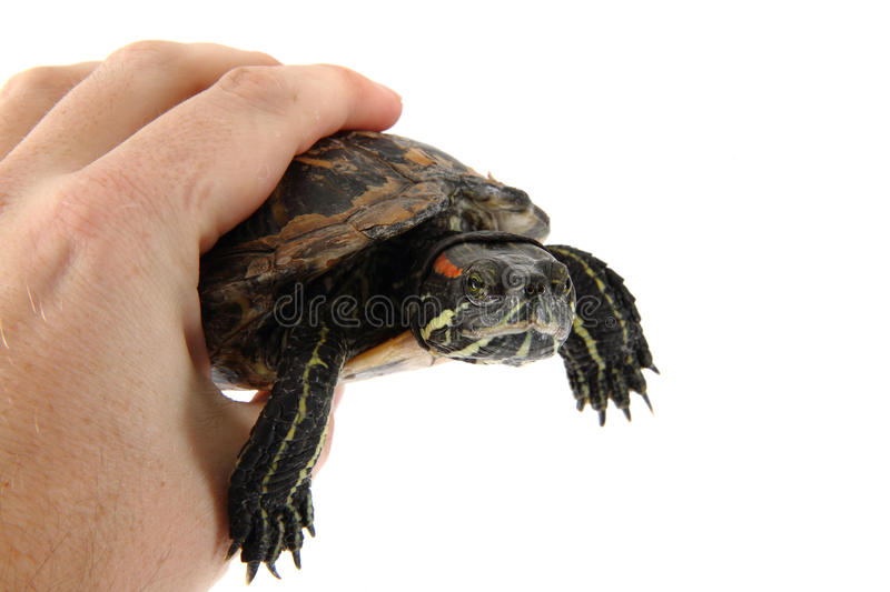 Download Water Turtle In Human Hand Stock Photo - Image: 39632790