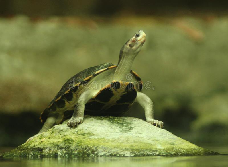 Water turtle sunbathing royalty free stock photo