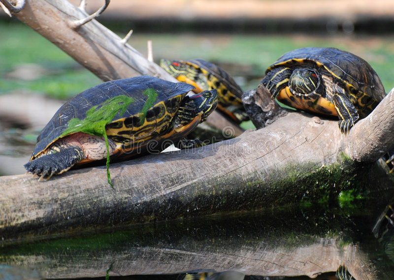 Water Turtles on branch royalty free stock images