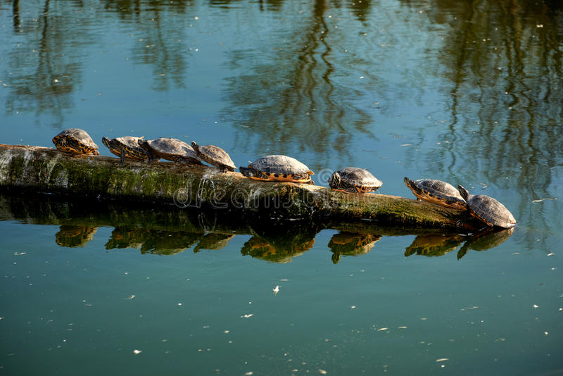 water turtles sitting in line stock photography