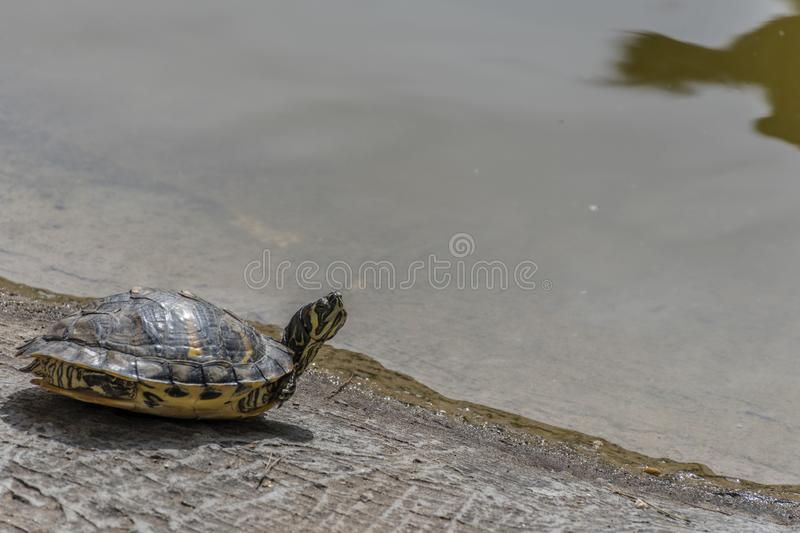 Water turtles. Taking the sun, at noon, to warm up your body stock image