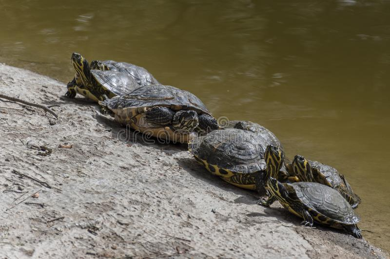 Water turtles. Taking the sun, at noon, to warm up your body royalty free stock images
