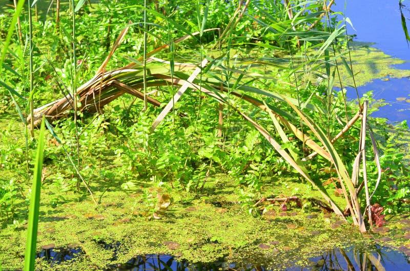 Water vegetation. Image of some water vegetation in Neajlov delta stock photo