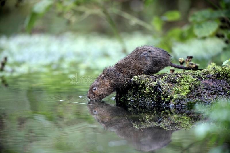 Water vole, Arvicola terrestris. By water royalty free stock images
