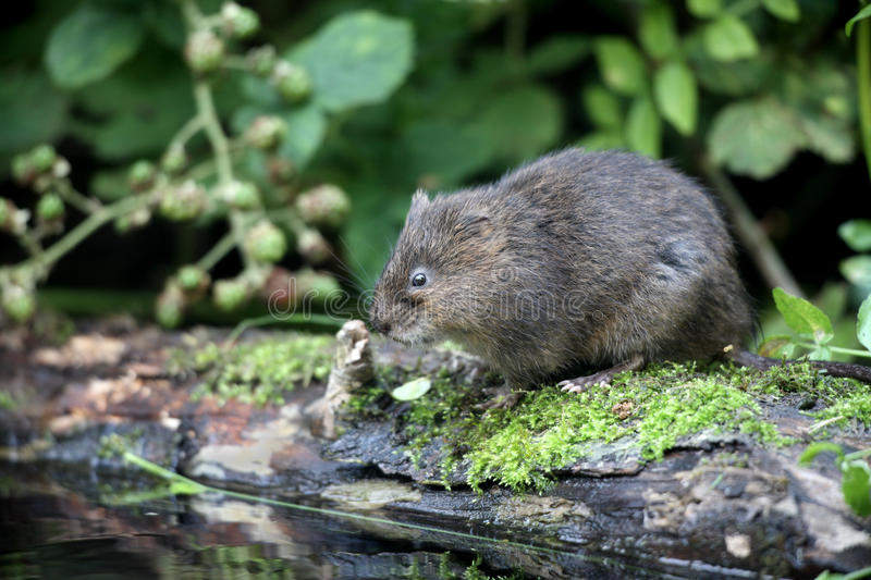 Water vole, Arvicola terrestris. By water royalty free stock image