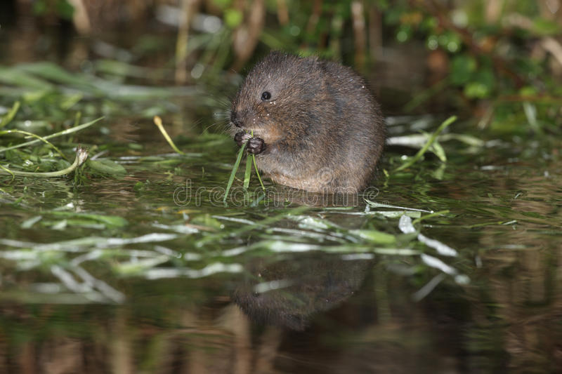 Water vole, Arvicola terrestris. By water stock images