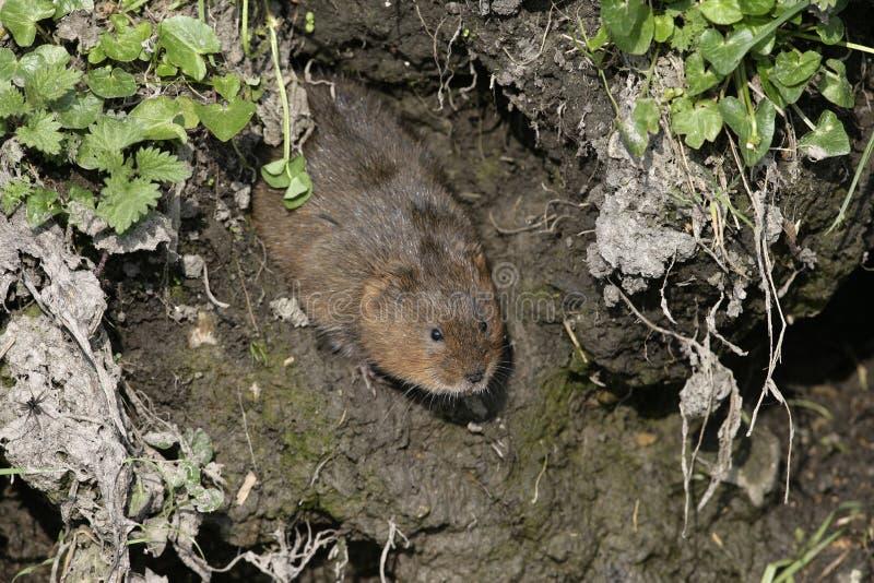 Water vole, Arvicola terrestris. On bank, Debyshire royalty free stock images