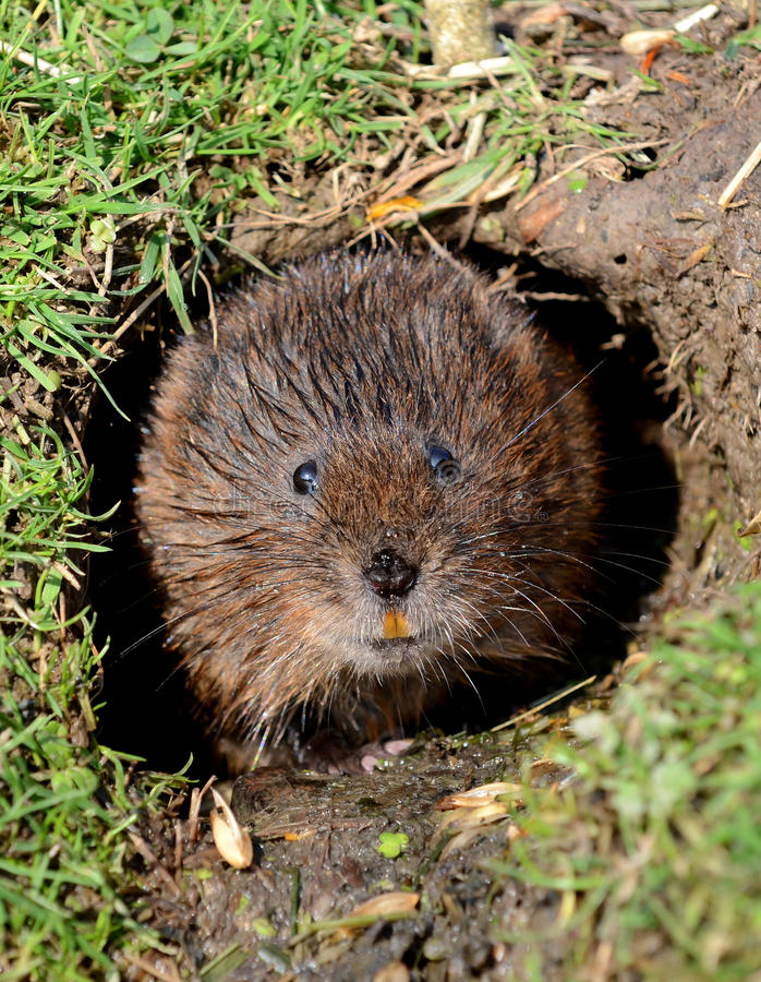 Water Vole on the riverbank. Water Vole peeping from his hole in the riverbank stock photography