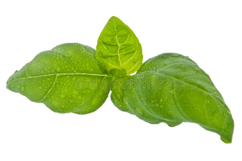 Download Water Wetted Basil Leaves (with Clipping Path) Royalty Free Stock Photo - Image: 23468915