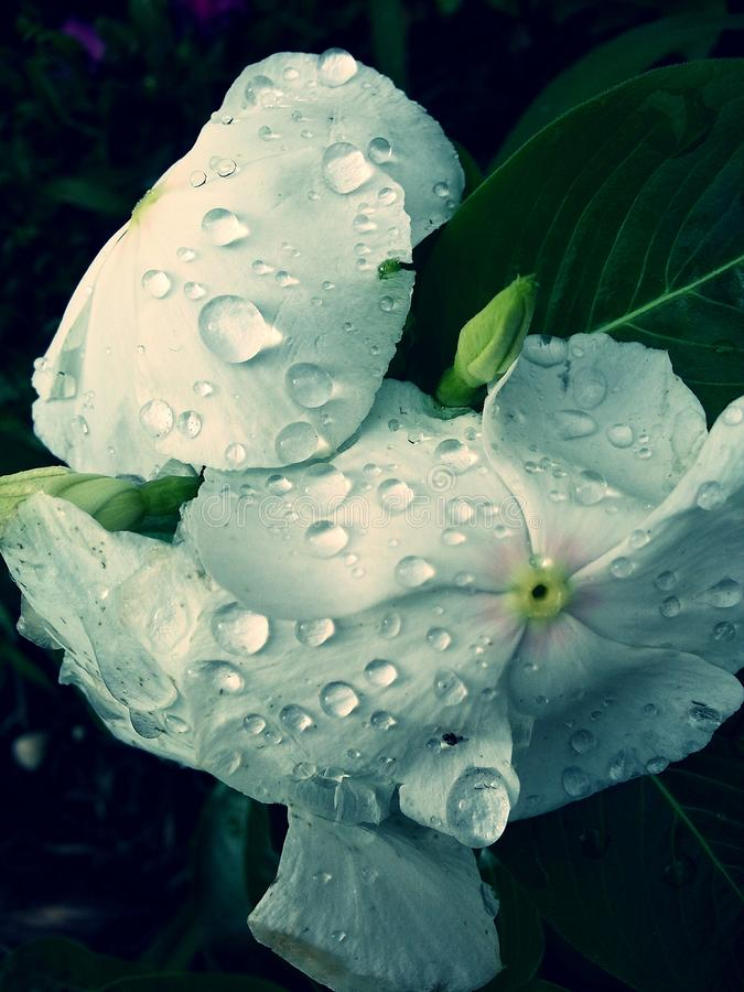 Water on White Flowers royalty free stock photography