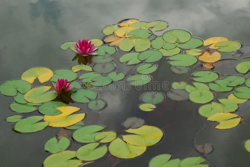 Water, Yellow, Aquatic Plant, Leaf stock photos