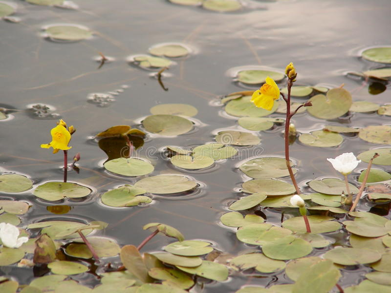 Water yellow egg capsules bloom on the water stock photo