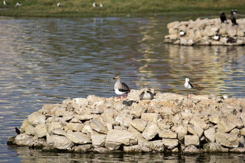 Waterbirds in het vogelreservaat van Porbandar stock afbeelding