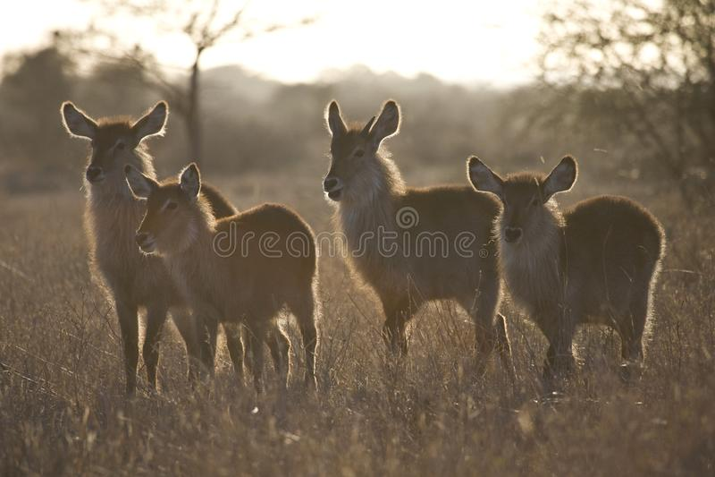 Waterbok, Waterbuck, ellipsiprymnus de Kobus images libres de droits