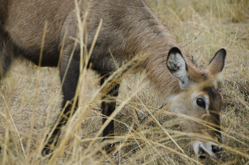 Waterbuck在乌干达 库存照片
