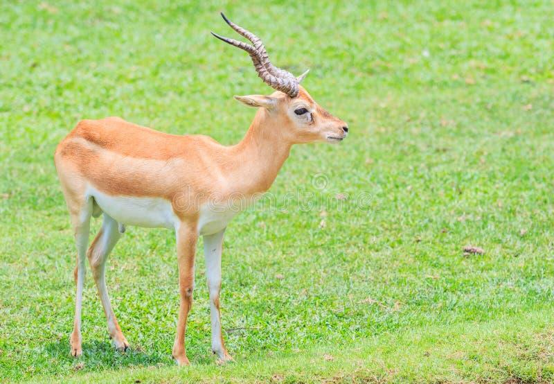 Waterbuck或汤普森瞪羚 库存照片