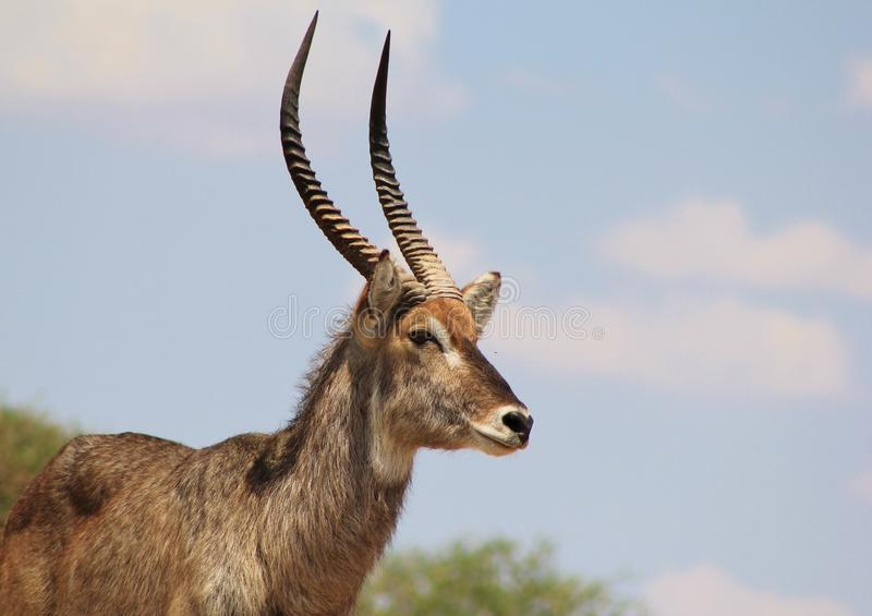 Waterbuck, взрыв Африки - Bull стоковое фото