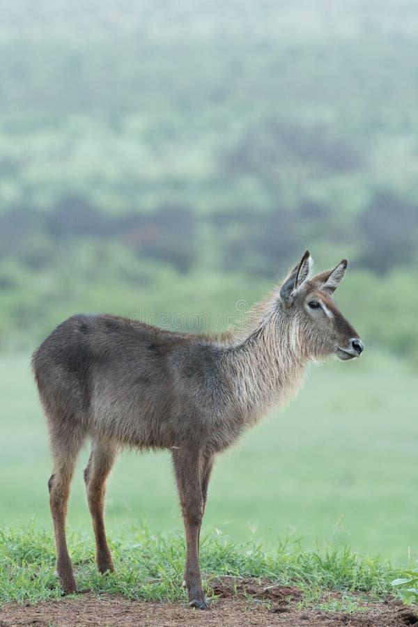 Waterbuck стоя на траве стоковая фотография rf